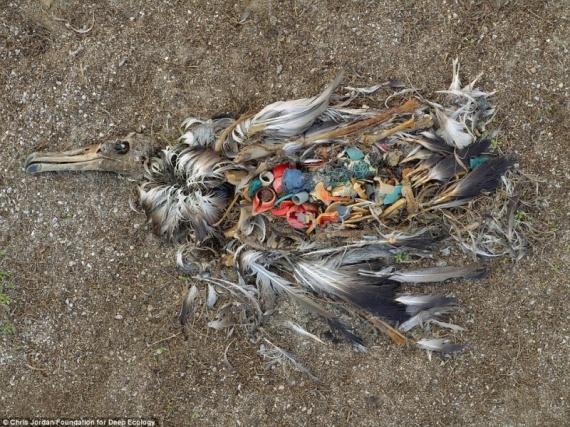 Мертвый альбатрос – свидетельство того, как мы мусорим. Ходячая помойка.